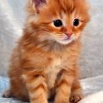 Eddy Maine Coon kattunge