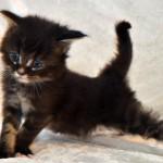 Ernst Maine Coon kattunge