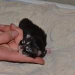 Maine Coon kattunge 1 vecka