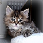 ellinor maine coon kattunge