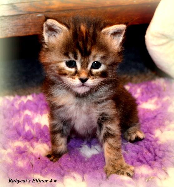 pixie bob kattungar till salu