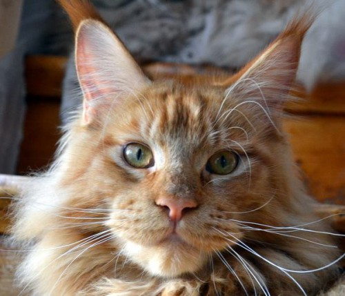 rubycats-goliat-maine-coon